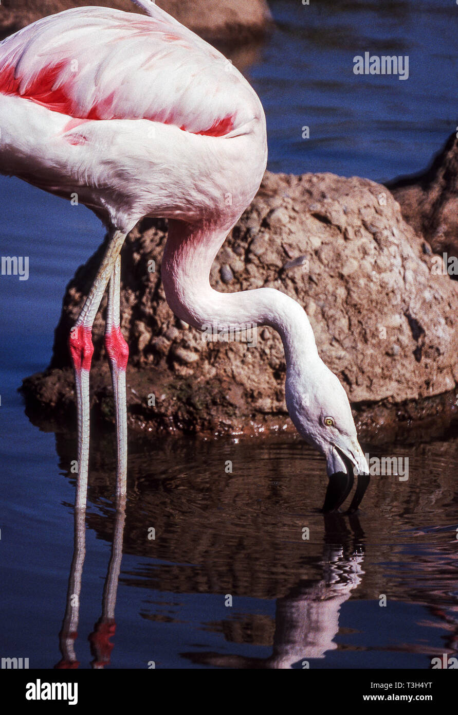 Chilean Flamingo (Phoenicopterus chilensis) feeding in shallow water.Nest mound behind the bird. - Stock Image