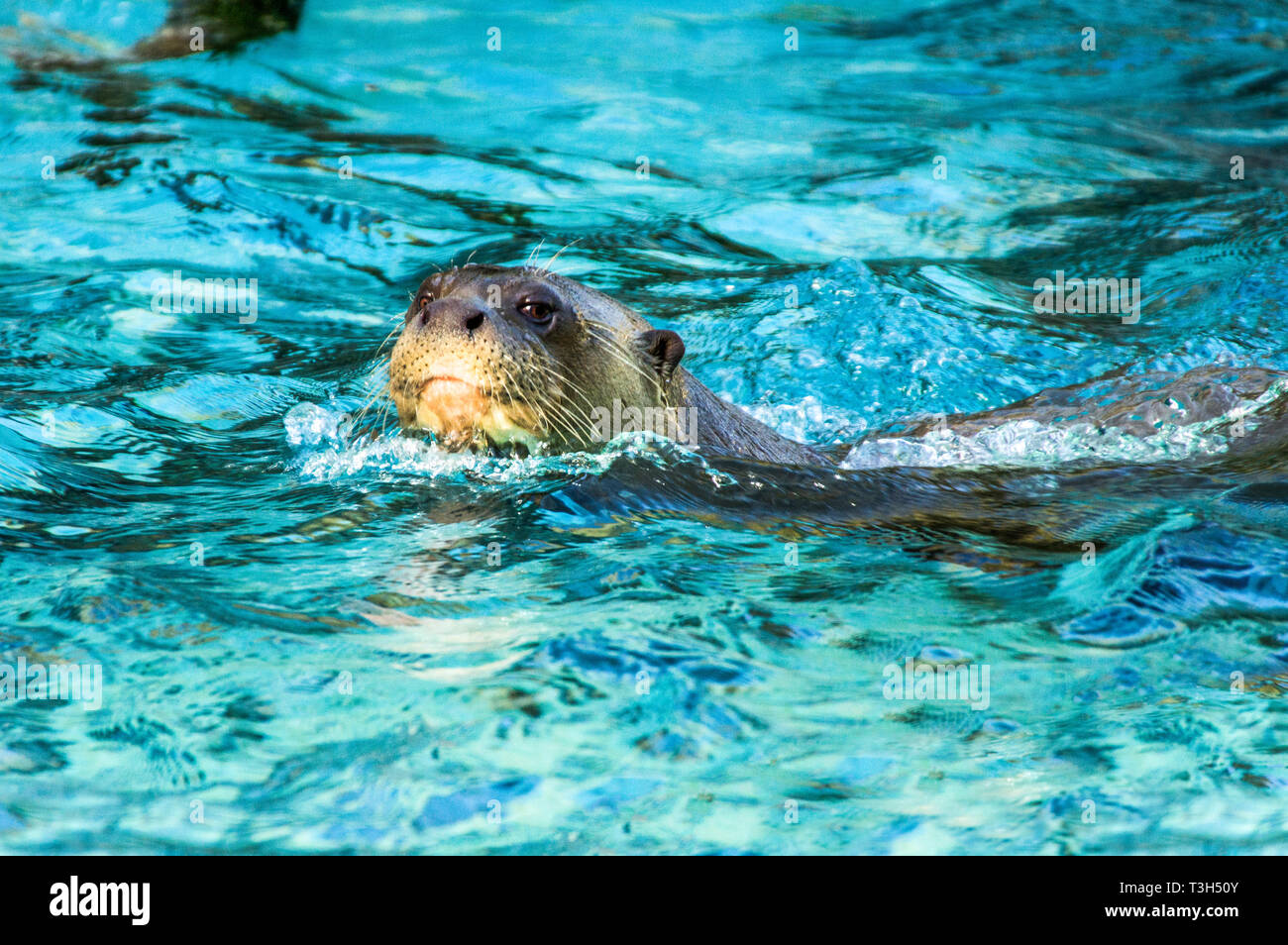 Brazilian Giant Otter (Pteronura braziliensis).Adult in water. - Stock Image