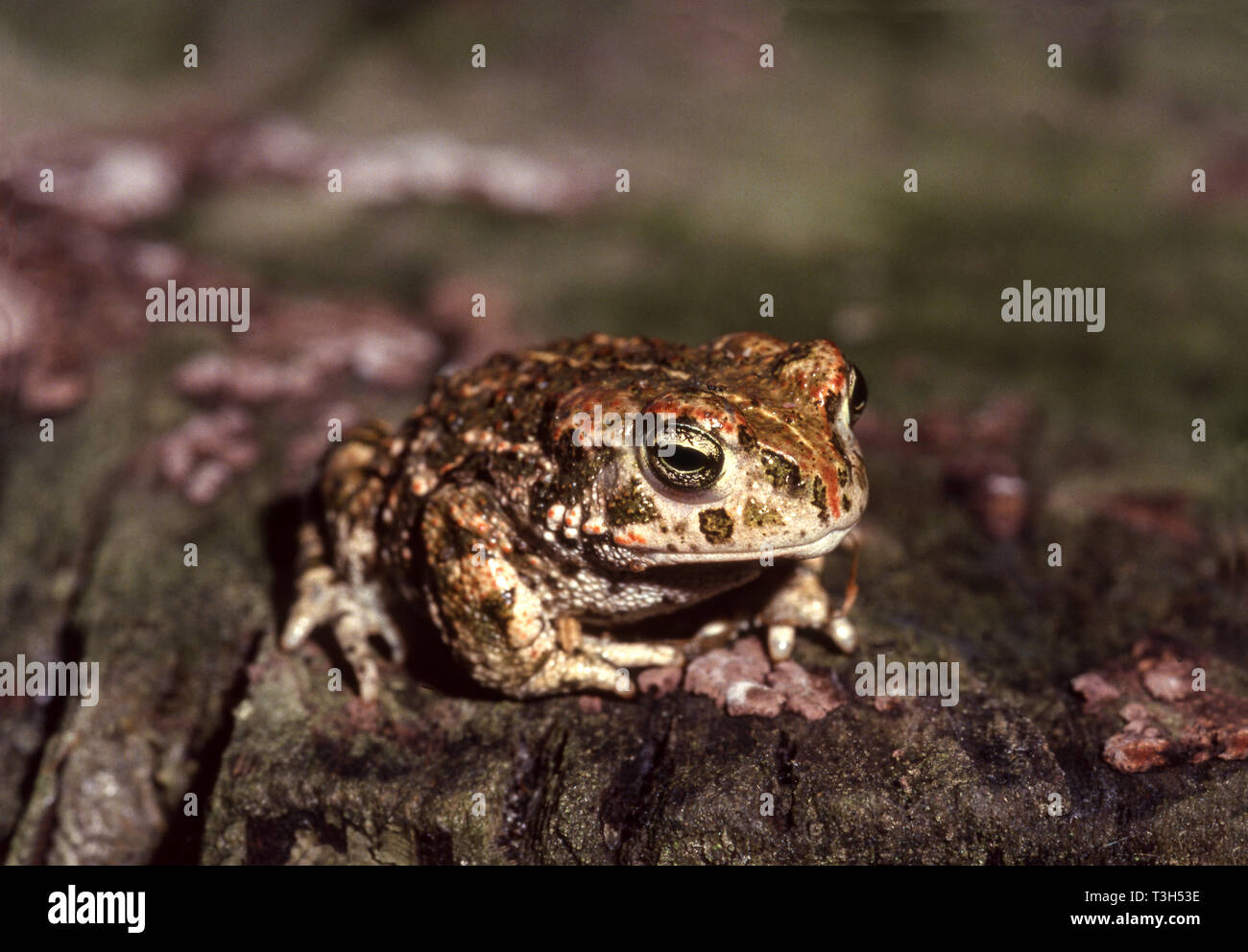 Natterjack Toad (Bufo calamita) Animal sitting on a rock in my garden in Southwest France. - Stock Image