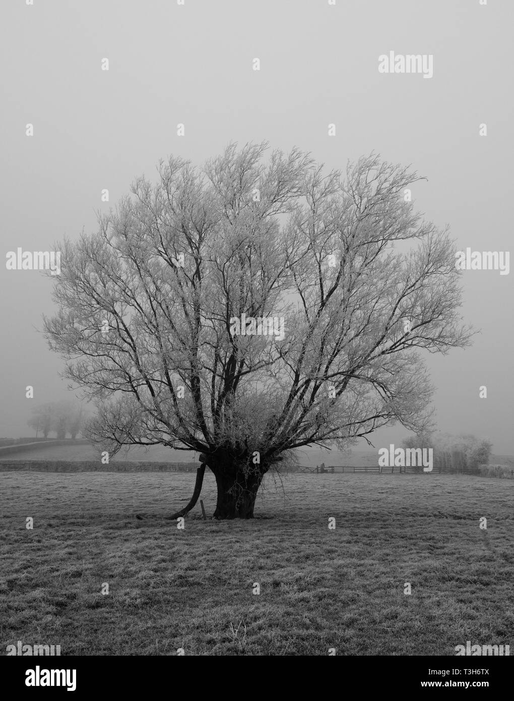 Frost Willow - Stock Image