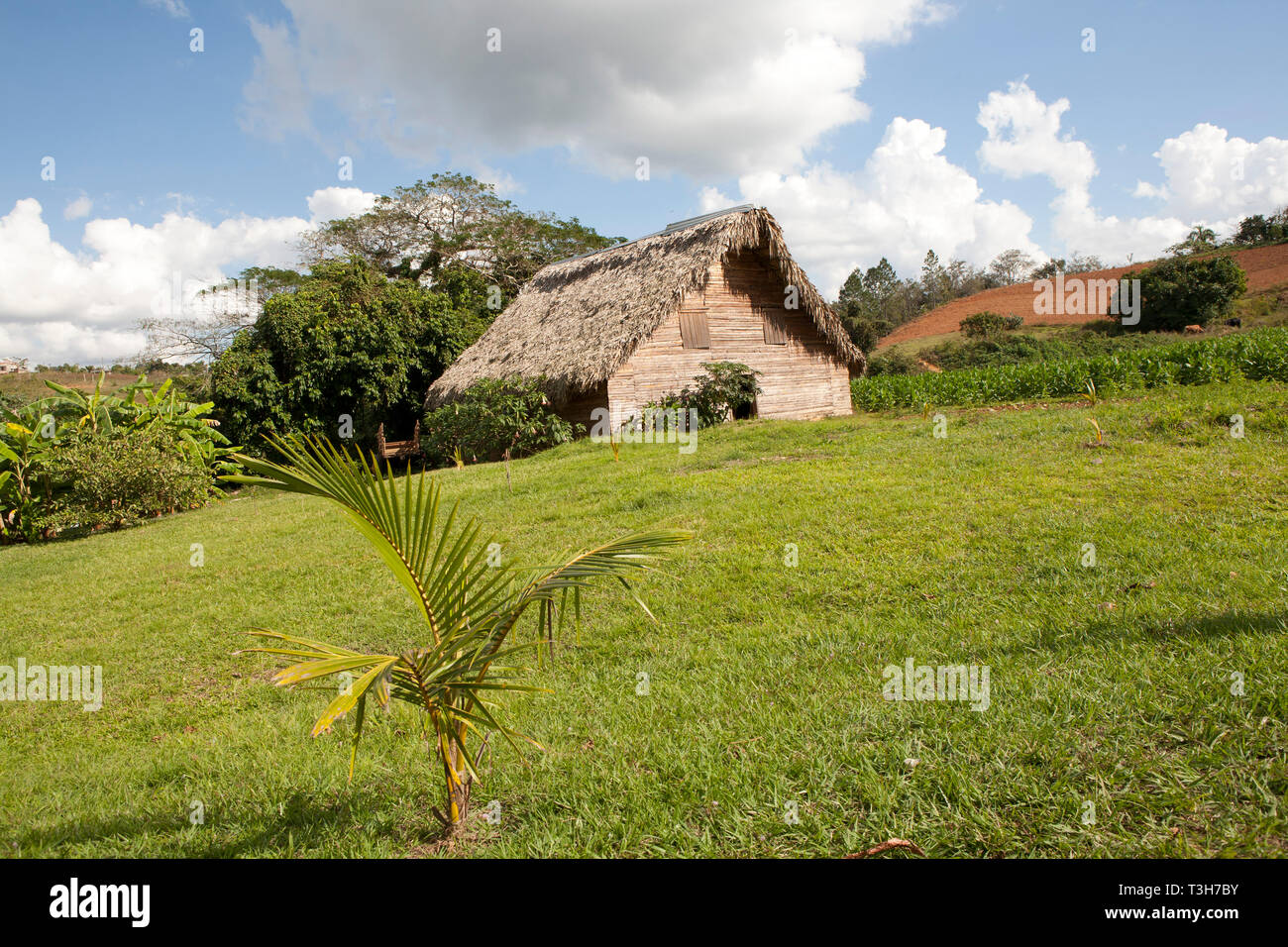 Tobacco farming in Cuba, drying huts, close up of Tobacco plants and leaves growing - Stock Image
