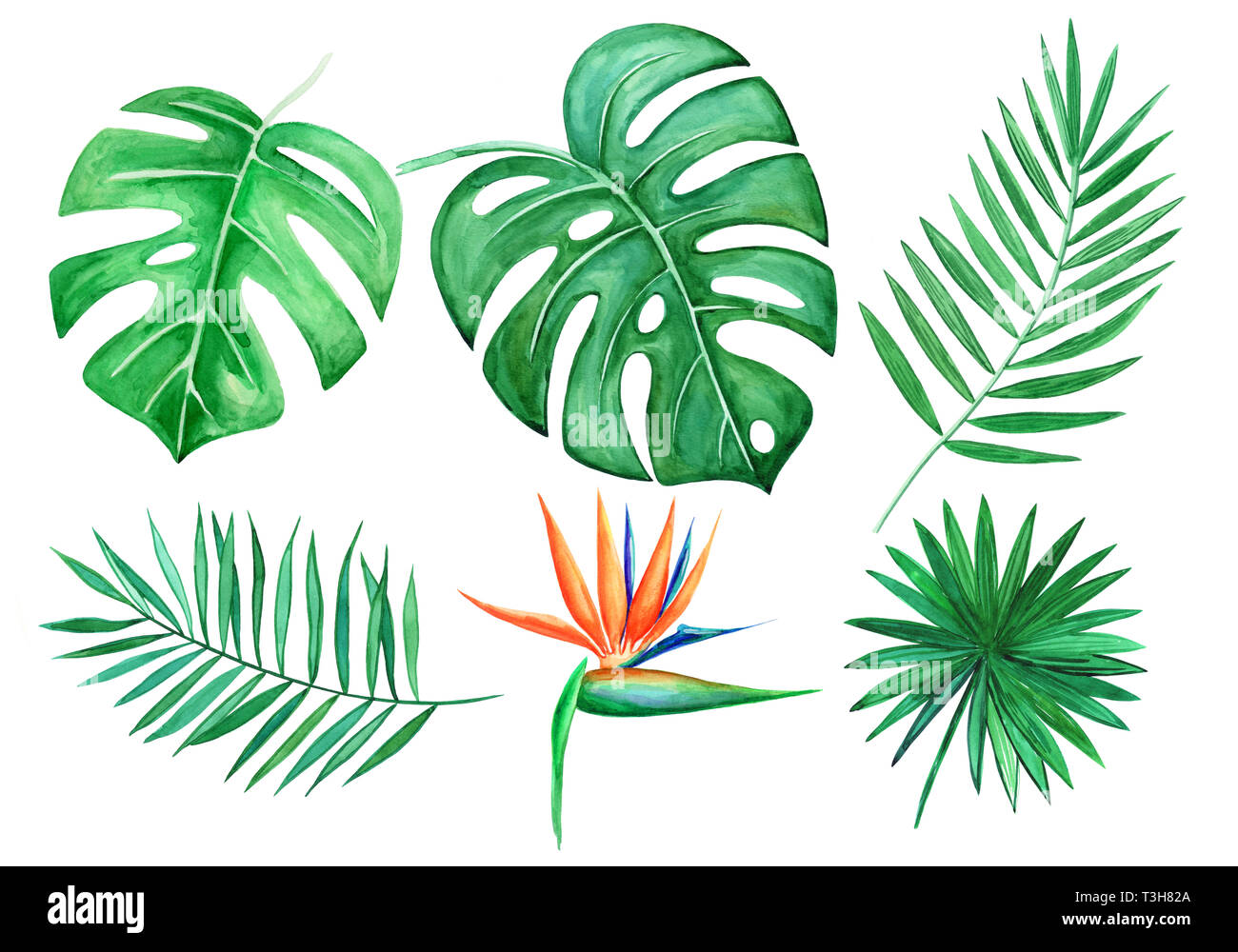 Tropical Leaves High Resolution Stock Photography And Images Alamy See more ideas about tropical, tropical leaves, leaves. https www alamy com watercolor set of tropical leaves isolated elements on white background hand drawn illustration monstera leaf strelitzia palm leaf image243168642 html