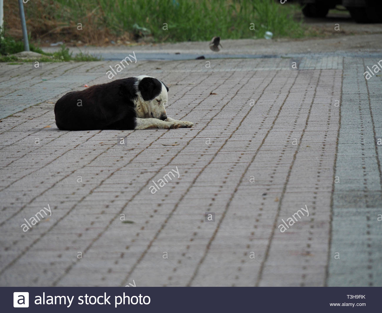 black and white stray dog sleeping at the side walk Stock Photo