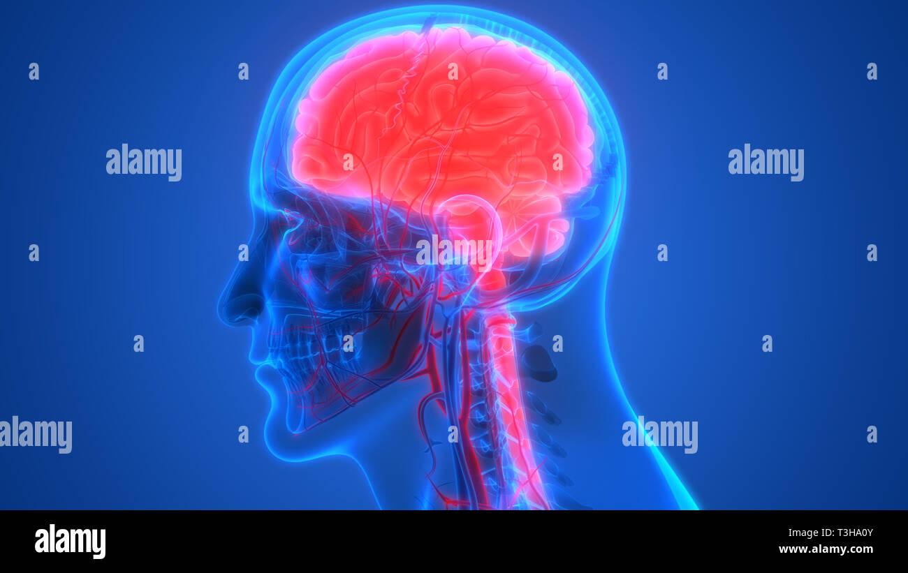 Human Brain with Circulatory System Anatomy - Stock Image