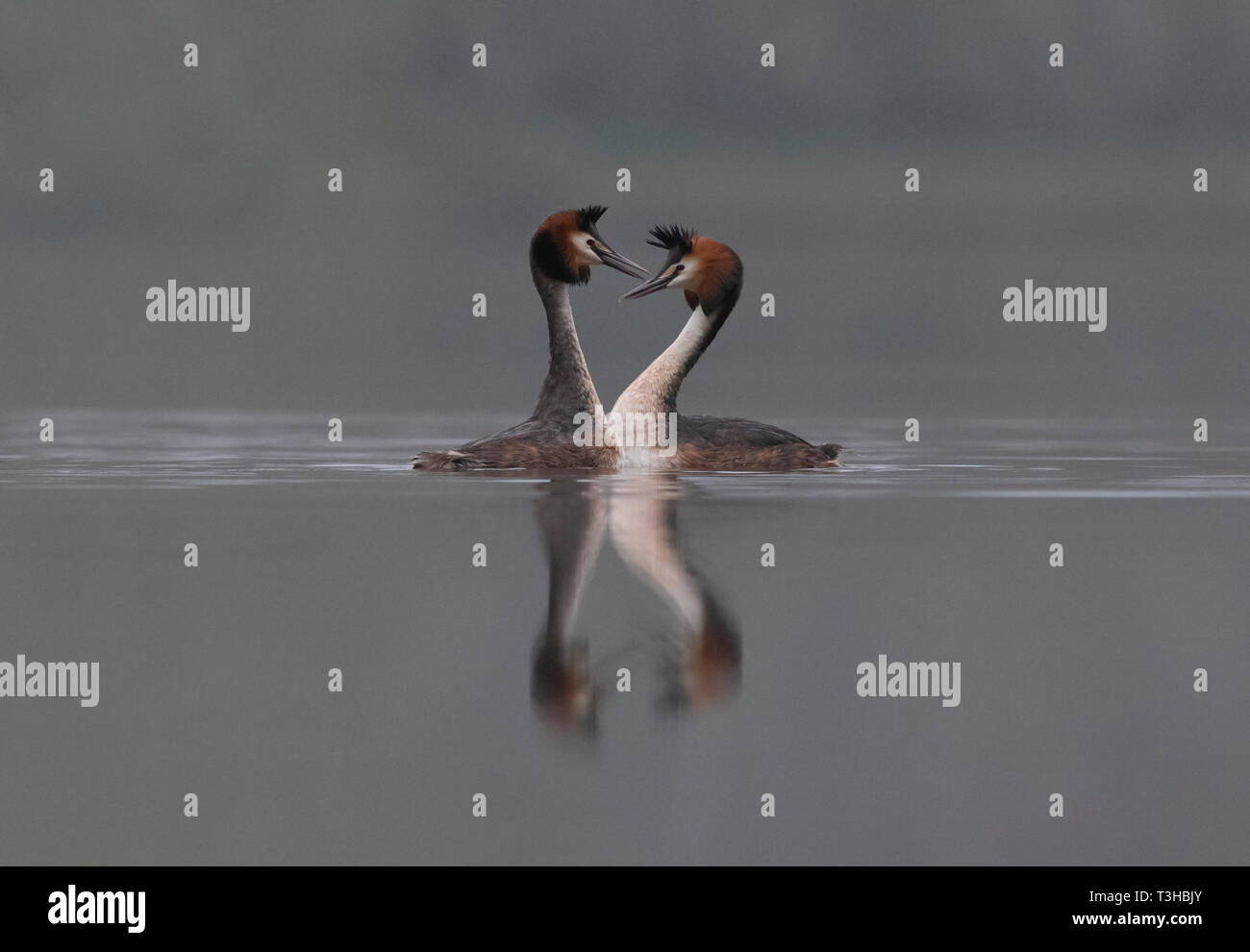 Great Crested Grebes-Podiceps cristatus display courtship. - Stock Image