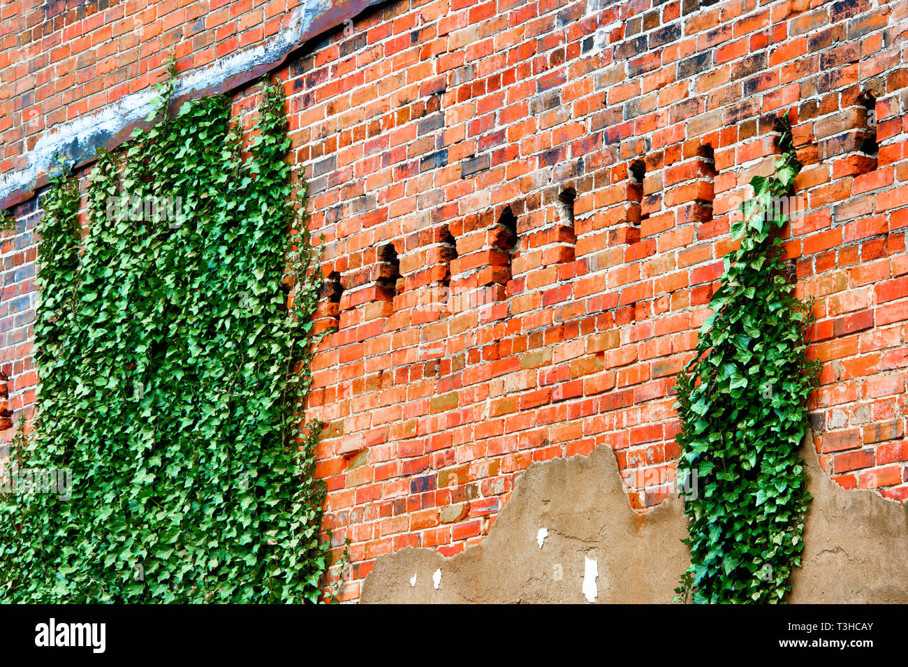 Ivy growing up the side of an old brick building - Stock Image