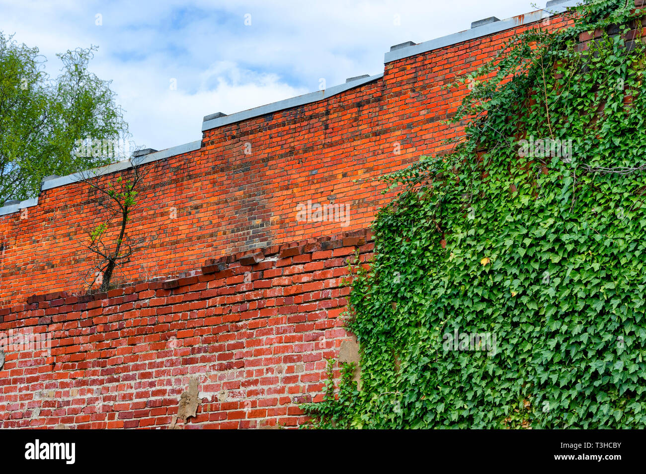 Exterior Brick wall with green ivy growing on it. - Stock Image