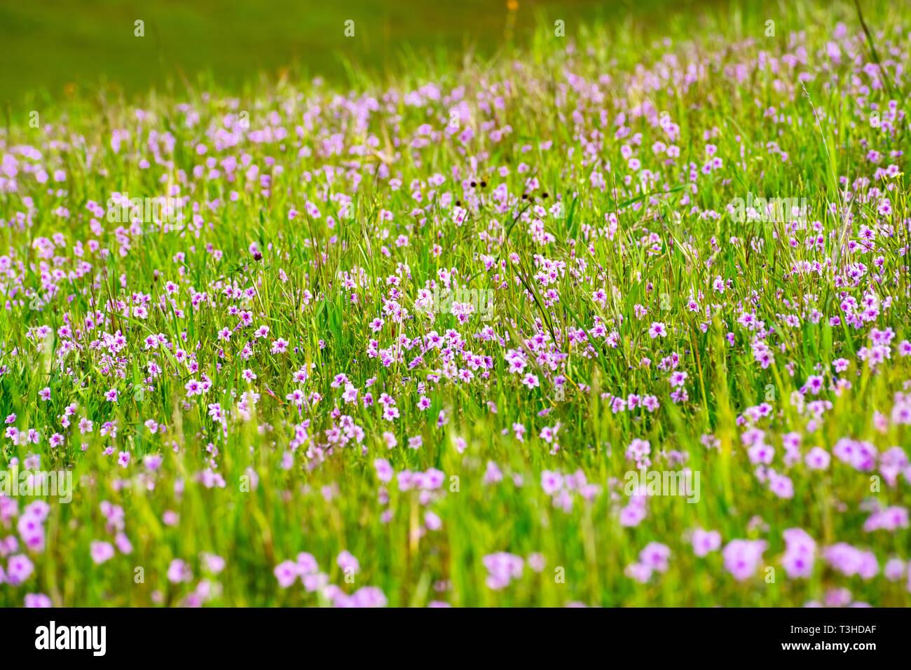 Field Of Filaree Erodium Wildflowers Blooming In South San