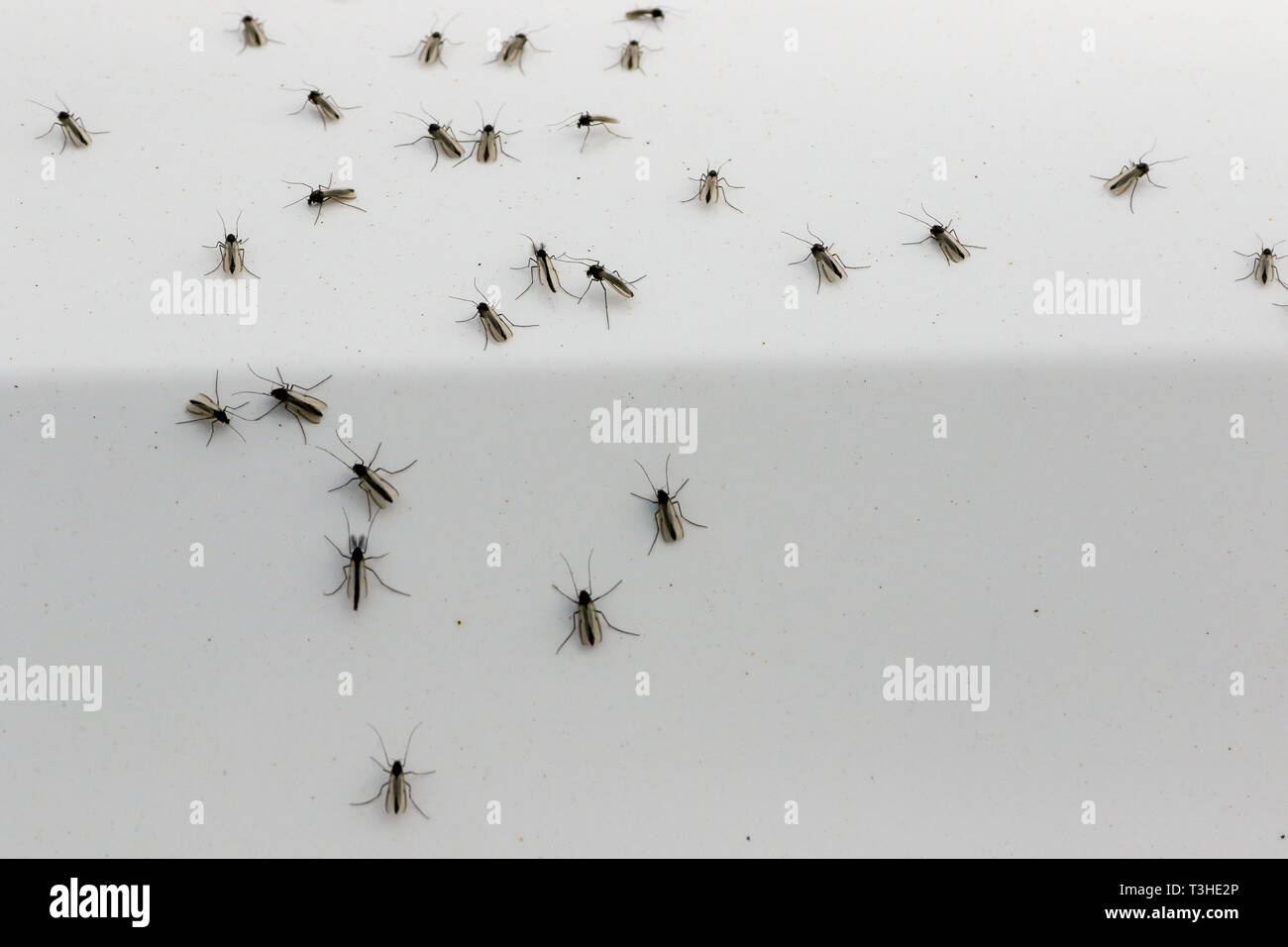 Lough Neagh Mayfly hatch April 2019 .Mayflies on a white background. with the ephemeroptera on the side of a parked car. - Stock Image