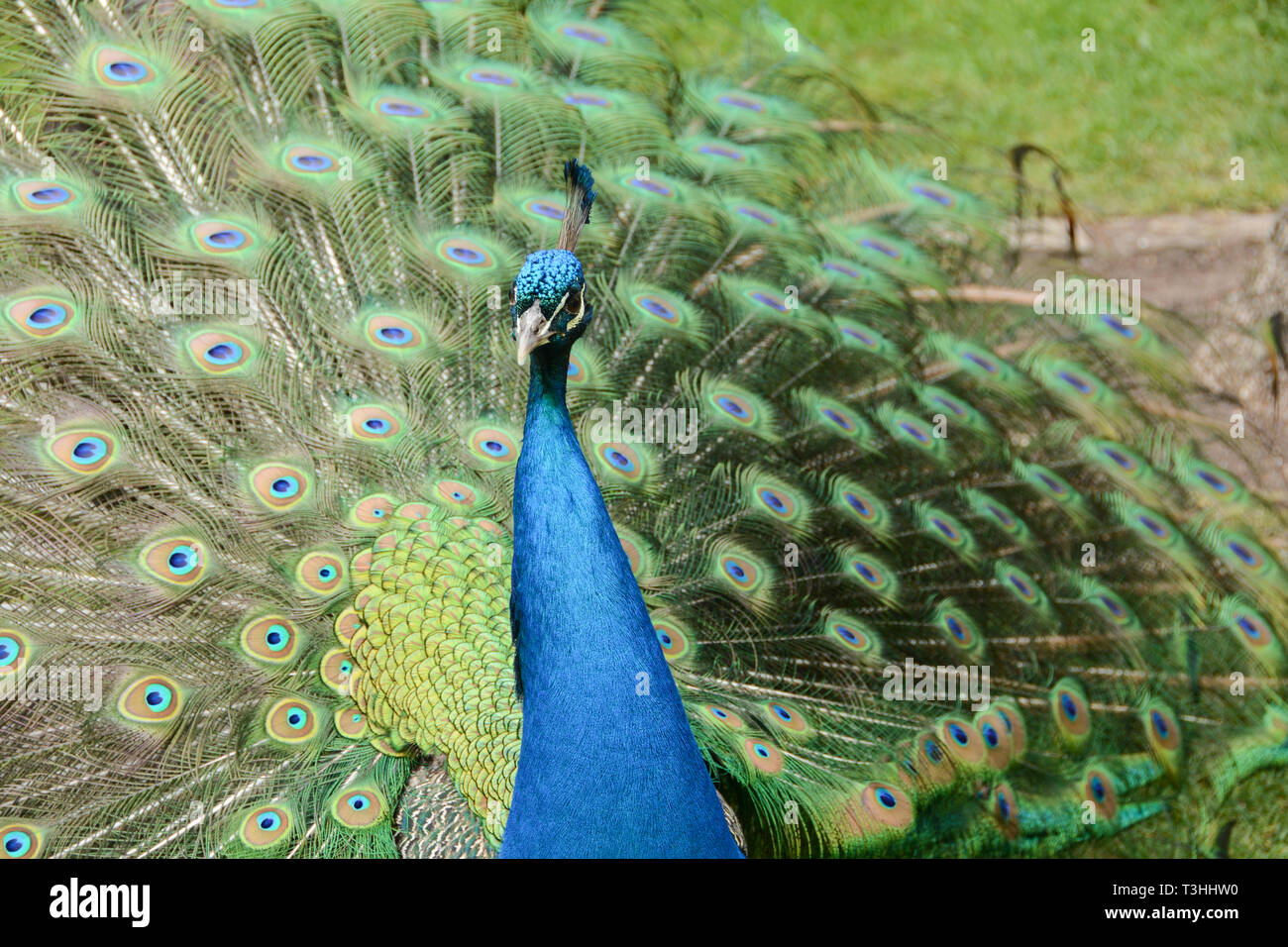 An Indian Peacock (Peafowl) in display mode in Holland Park, London, UK - Stock Image