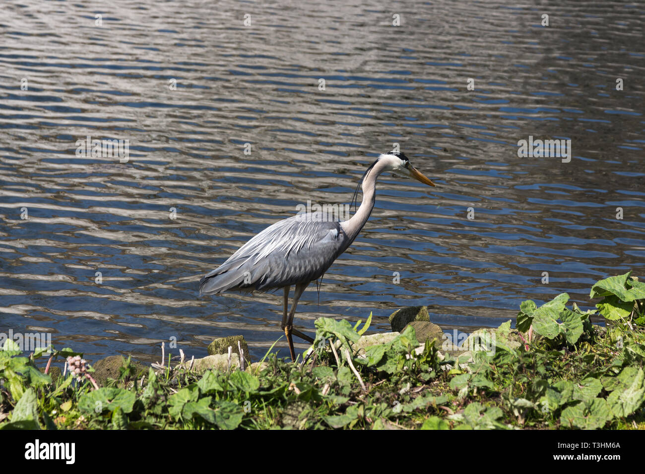 Egret or Heron waiting for his daily fish catch of the day in Maastricht at the 5 koppen pond Stock Photo