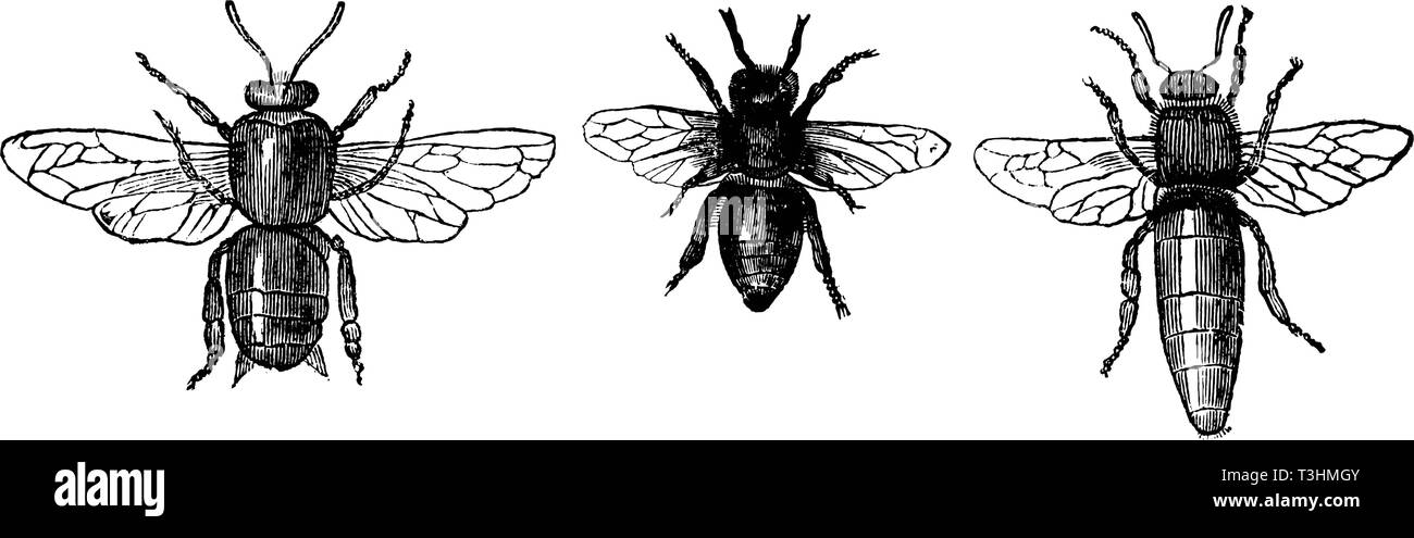 Antique vector drawing or engraving of grunge vintage illustration of comparison of honey bee or honeybee drone, worker and queen.From book Illustrierter Neuester Bienenfreund, printed in Leipzig, Germany 1852. - Stock Image