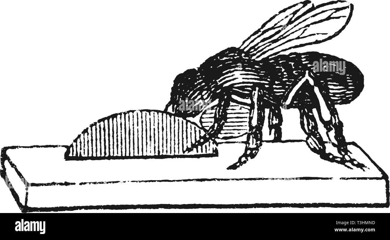 Antique vector drawing or engraving of grunge vintage illustration of honey bee or honeybee worker building new nest or hive from wax.From book Illustrierter Neuester Bienenfreund, printed in Leipzig, Germany 1852. - Stock Image