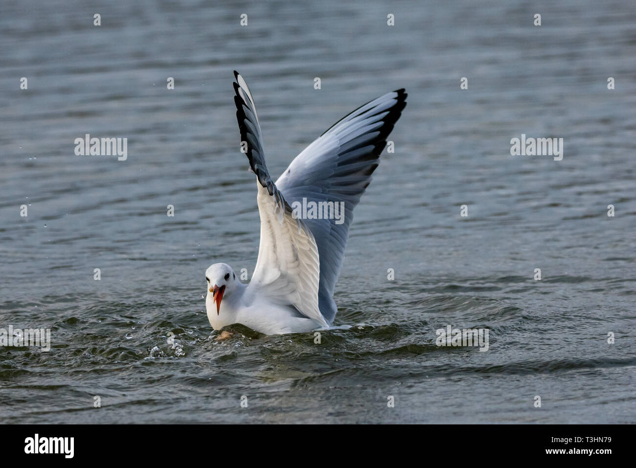 Seagulls diving into lake water for bread Stock Photo