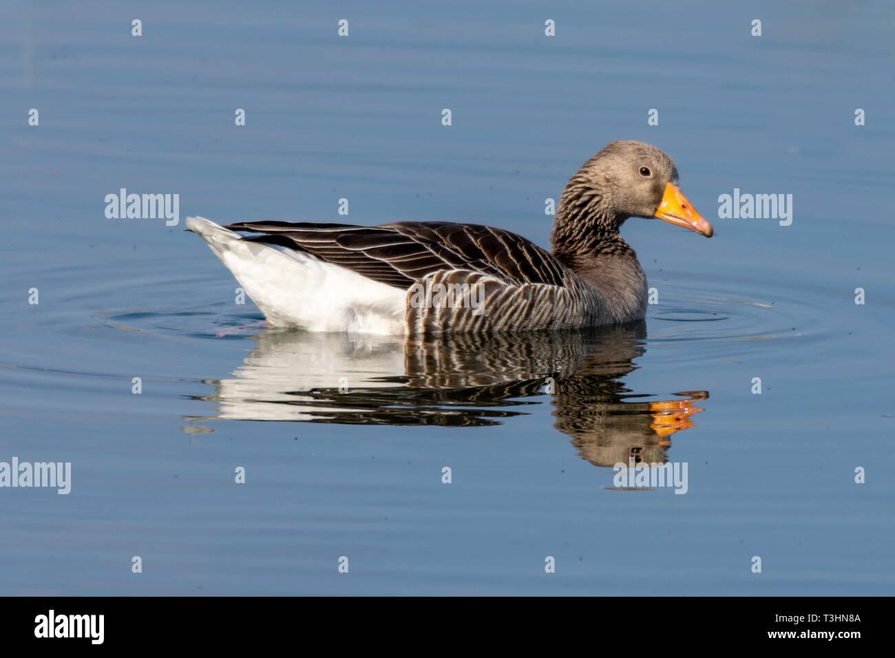 Greylag goose (anser anser) on still lake with reflection Stock Photo