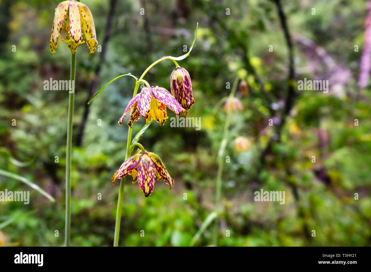Close up of Checker lily (Fritillaria affinis) wildlflower blooming in a forest in San Francisco bay area, California Stock Photo