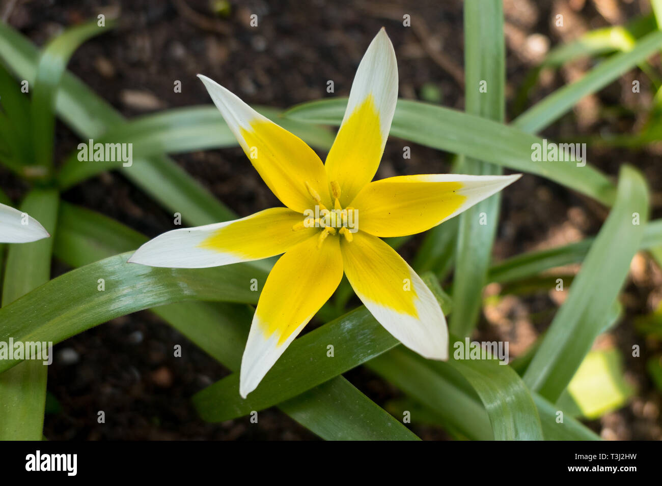Flower of a hydrangea paniculata aka Pinky-Winky - Stock Image