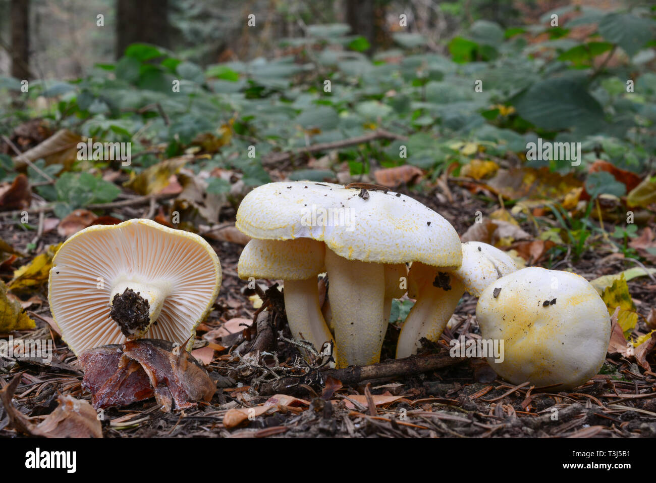Hygrophorus chrysodon mushrooms, or Gold flecked woodwax mushrooms in autumn mountain forest - Stock Image