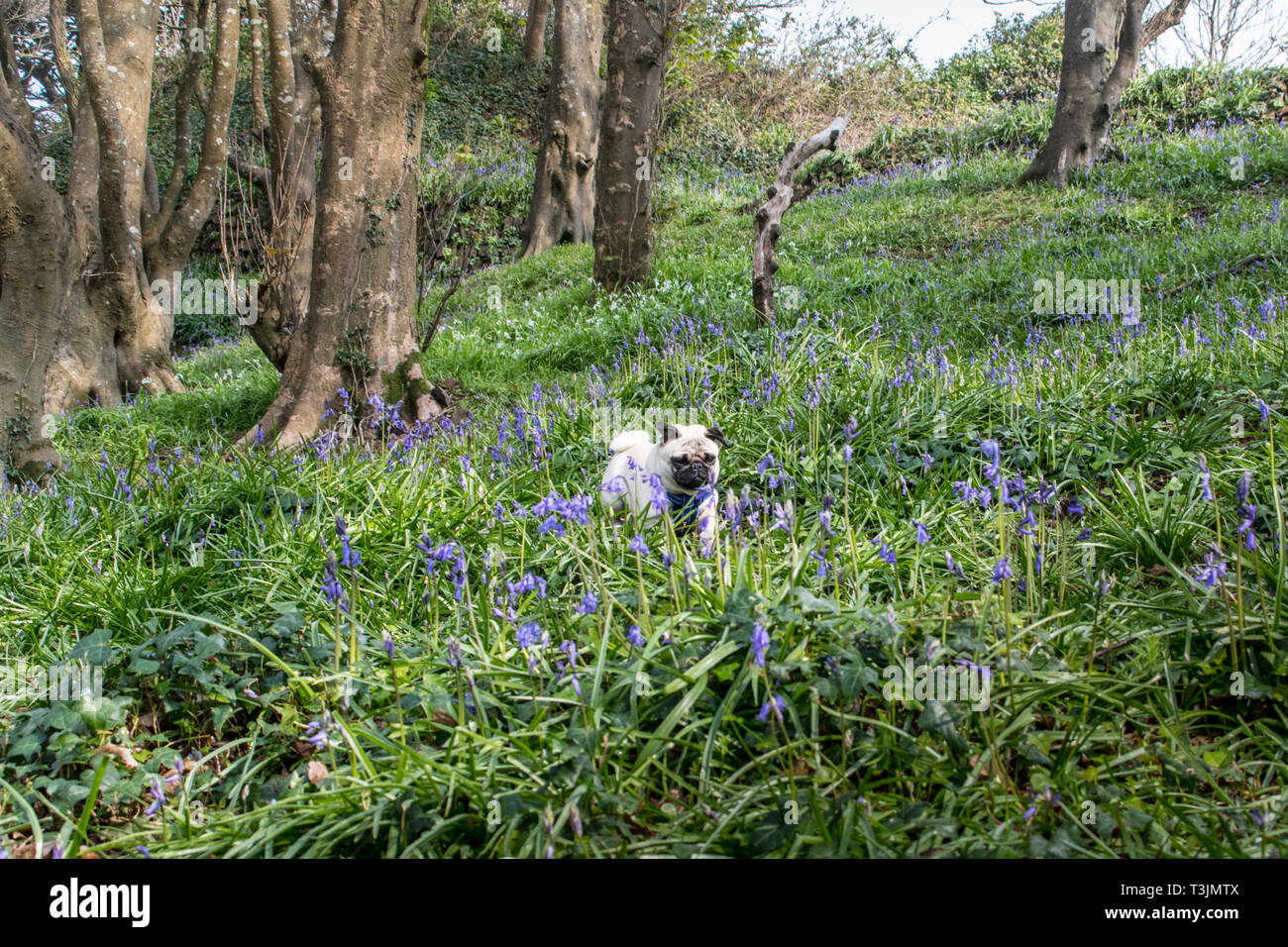 Newlyn, Cornwall, UK. 10th Apr, 2019. UK Weather. The mild weather has brought out the bluebells in the wood at Newlyn, on another warm, sunny day in Cornwall. Out and about this morning in the wood, was Titan the pug pup. Credit: Simon Maycock/Alamy Live News Stock Photo