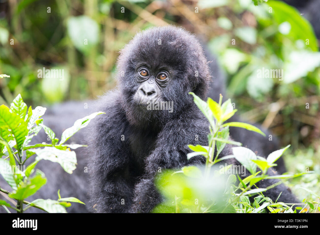 Baby Mountain Gorilla being playful in the jungle of Rawanda - Stock Image