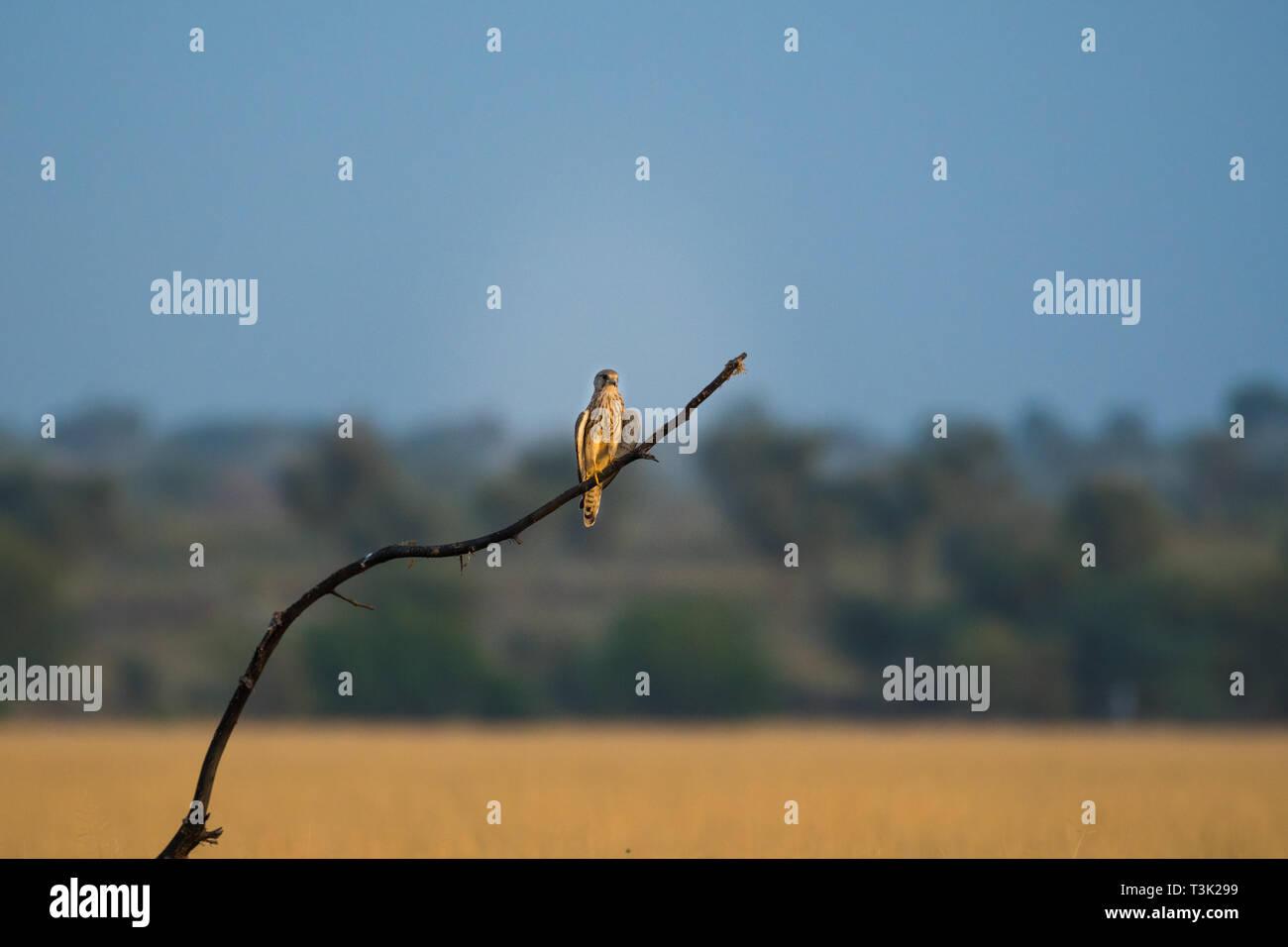 A habitat image of Common kestrel or Falco tinnunculus sitting on a beautiful perch at tal chappar blackbuck sanctuary, India - Stock Image