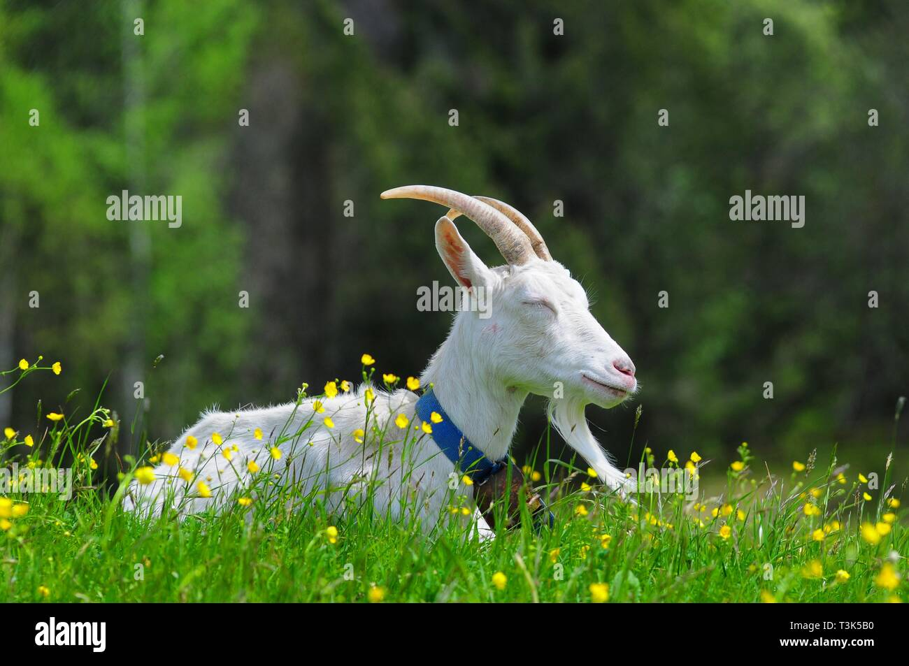 Goat (Capra) on a pasture, Oberbayern, Bavaria, Germany, Europe - Stock Image