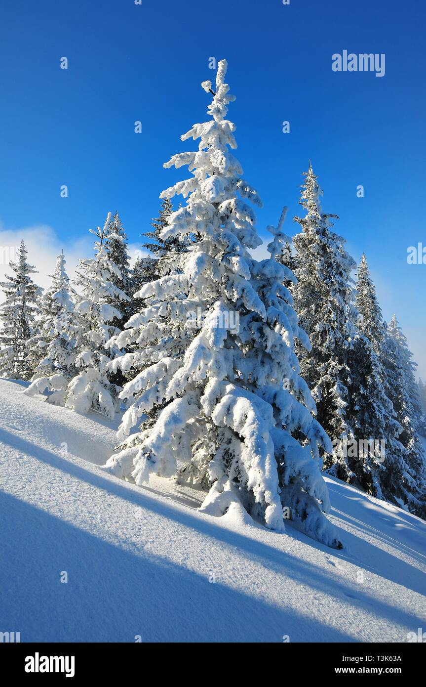 Trees in winter, Laber, Oberammergau, Upper Bavaria, Bavaria, Germany, Europe - Stock Image