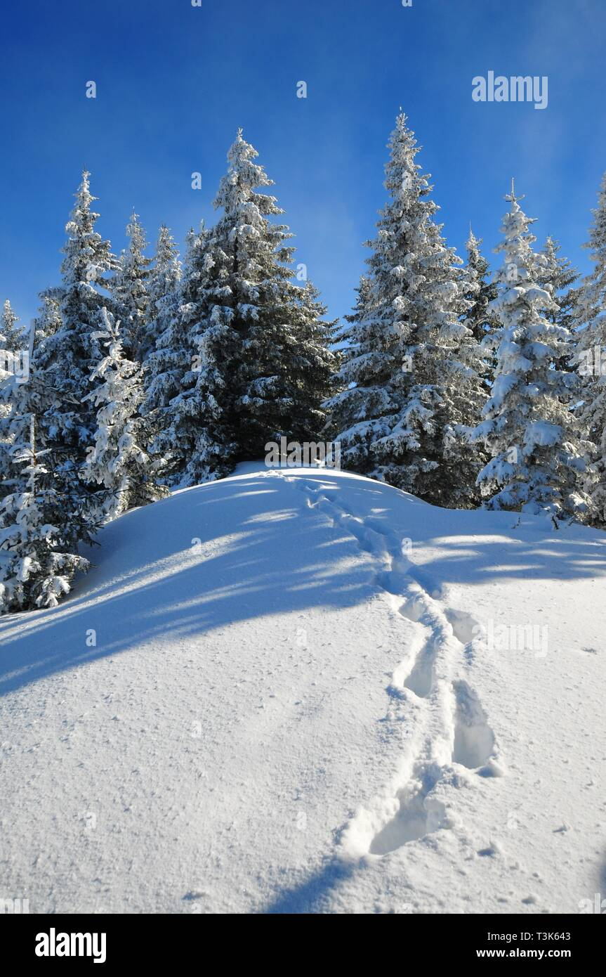 Mountain forest in winter, footprints in the snow, Laber, Oberammergau, Upper Bavaria, Bavaria, Germany, Europe - Stock Image