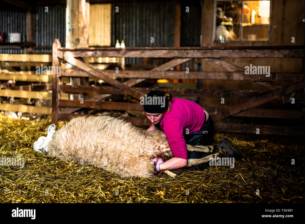 Oxnam, Jedburgh, Scottish Borders, UK. 26th March 2019. Cheviot mule ewes and lambs in a lambing shed in the Scottish Borders. - Stock Image