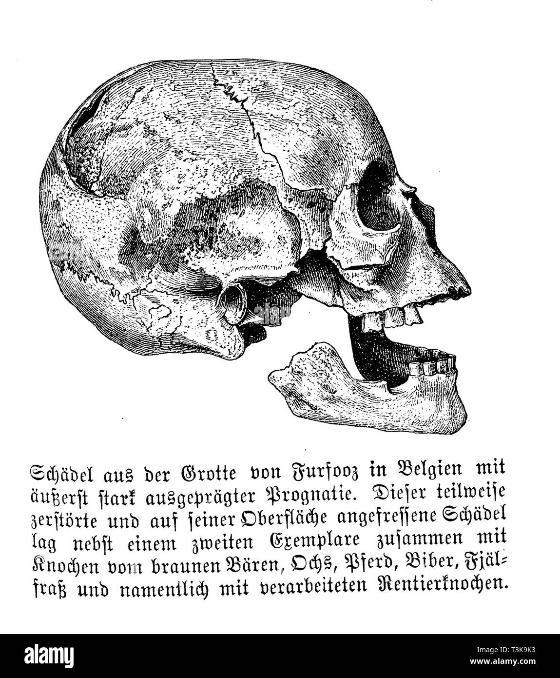 Skull from the Furfooz Grotto in Belgium with extremely pronounced prognosis. This partially destroyed skull, which had been eaten on its surface, lay together with a second specimen together with bones of the brown bear, ox, horse, beaver, fjeld food and especially with processed reindeer bones., anonym - Stock Image