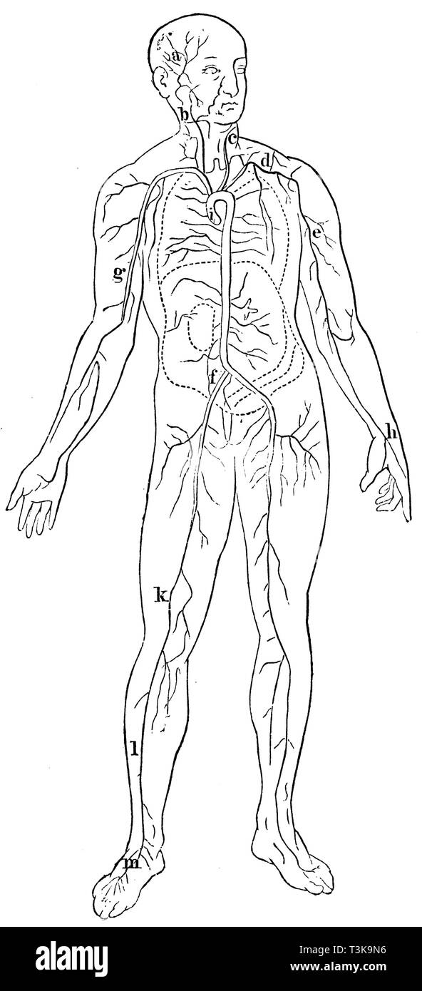 Human: location of the most important arteries: a temporal artery b right head artery c vertebral artery d collarbone artery e left axillary artery f hip artery g arm artery h spoke artery i aorta (cut off above the heart) k femoral artery l tibial artery m foot artery, anonym  1877 - Stock Image