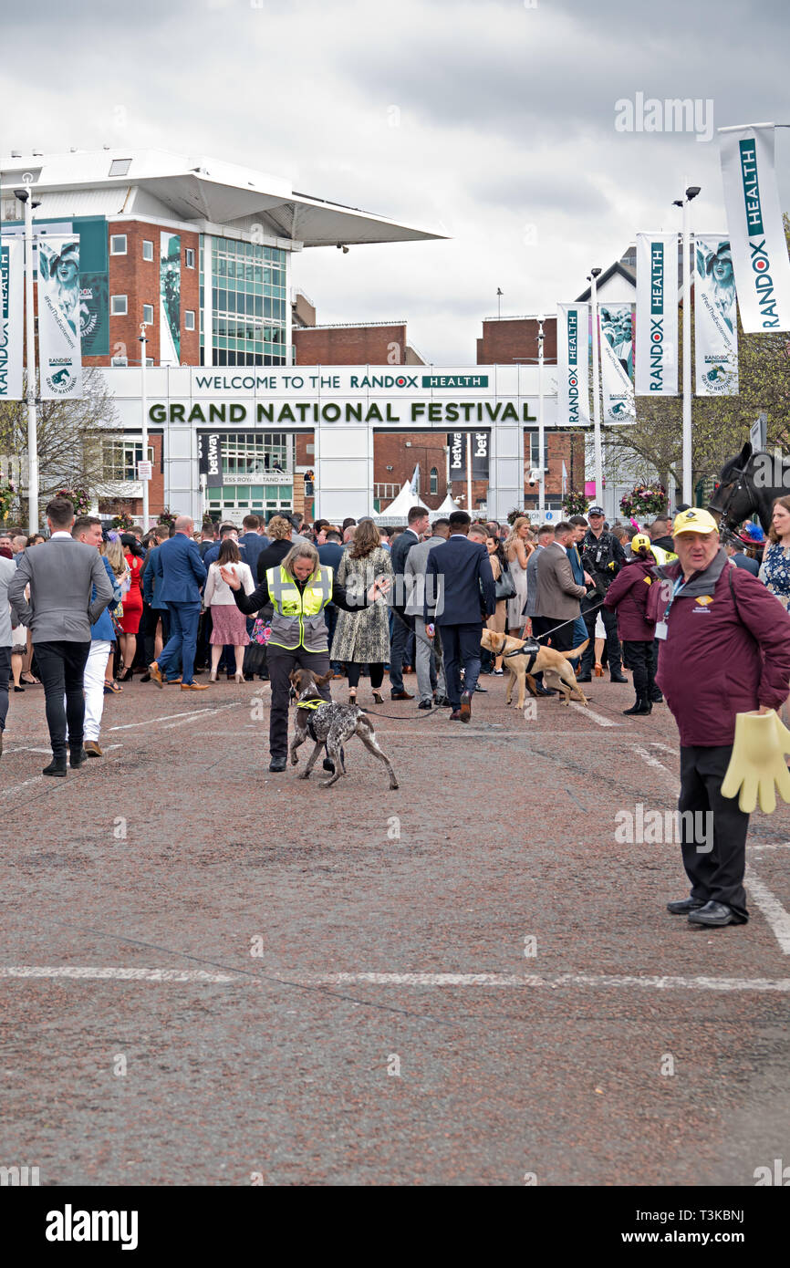 Sniffer dogs checking for drugs at the 2019 Aintree Grand National Meeting - Stock Image