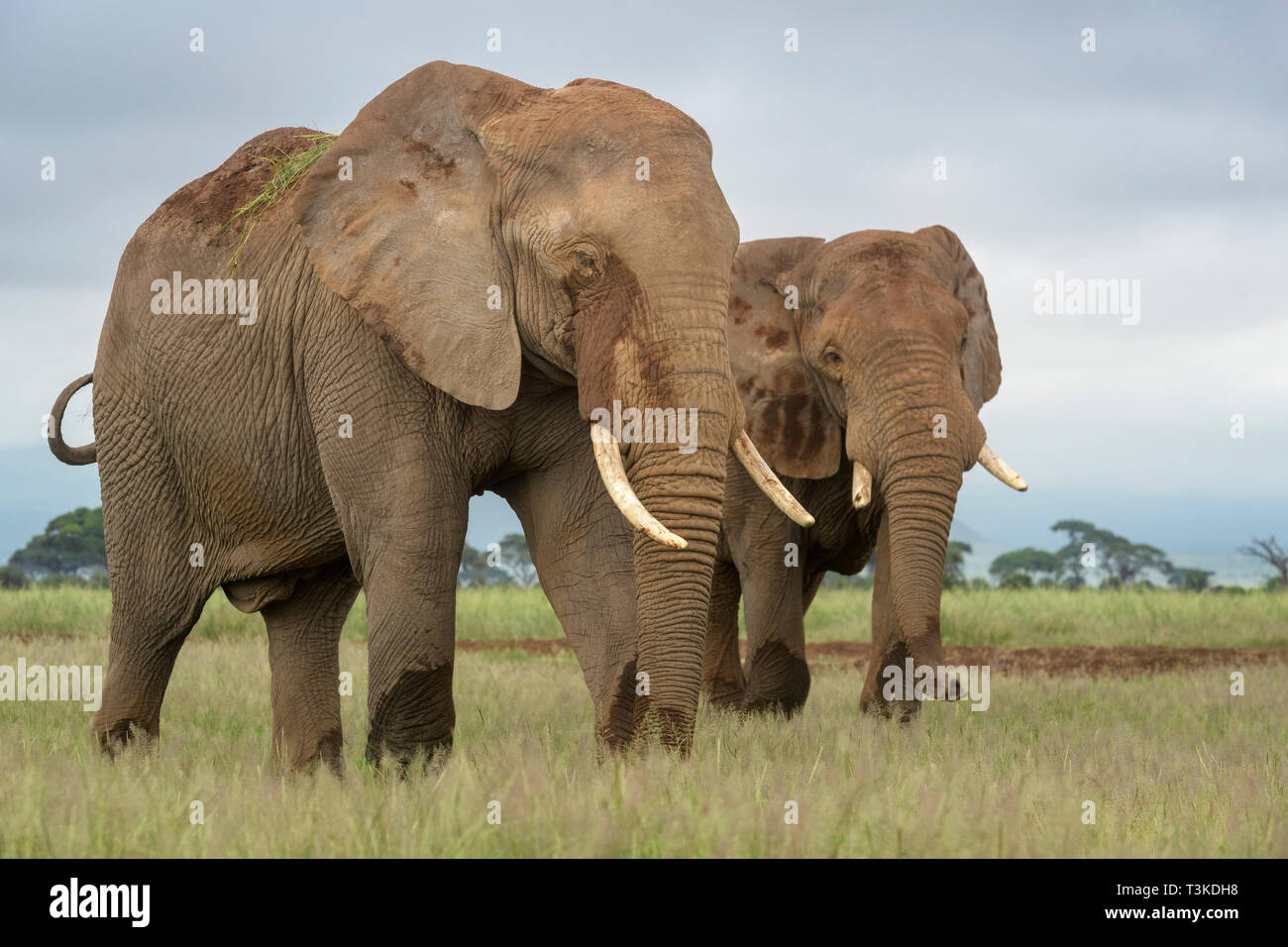 Two African elephant (Loxodonta africana) bull walking together on savanna, Amboseli national park, Kenya. - Stock Image