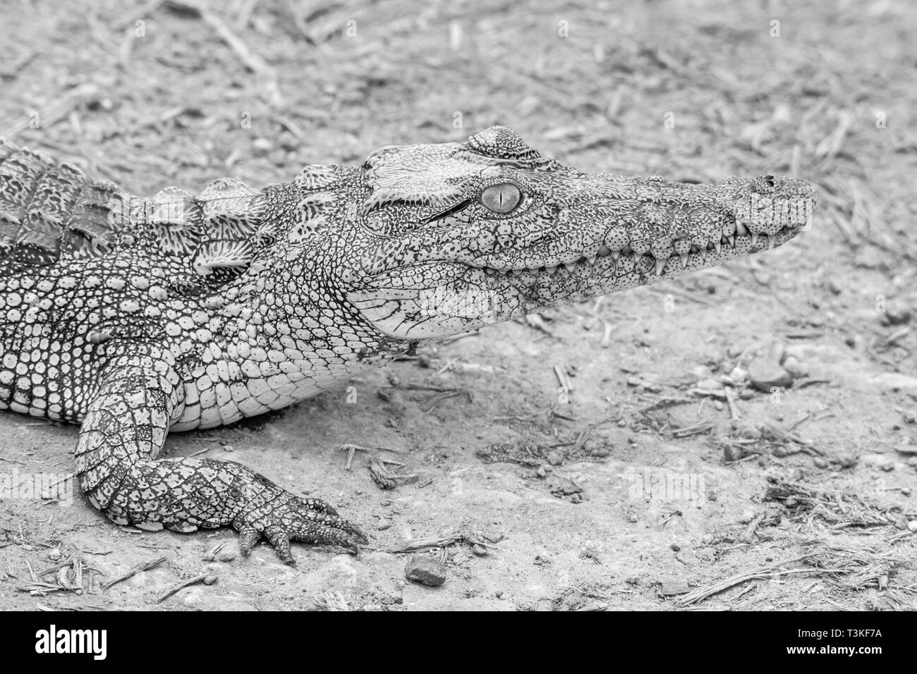 A juvenile Nile Crocodile resting on a riverbank in Southern African savanna - Stock Image
