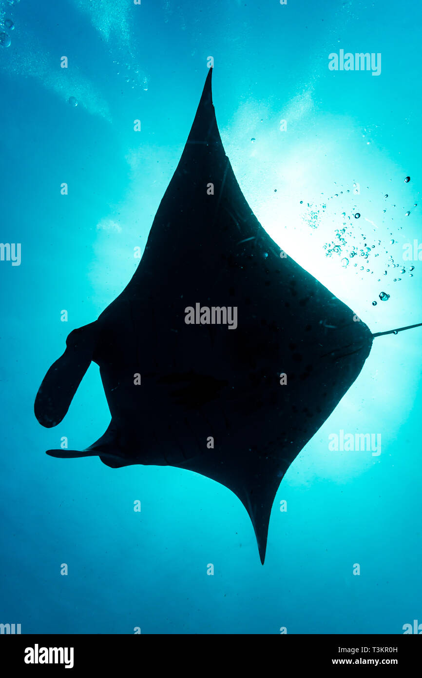 silhouette of giant oceanic manta rays, Manta birostris, underbelly Stock Photo