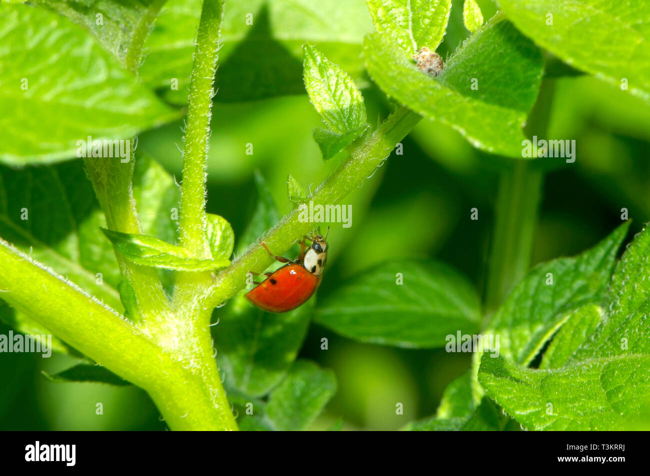 An Asian Lady Beetle (Coccinellidae) on a garden plant looking for aphids. Stock Photo