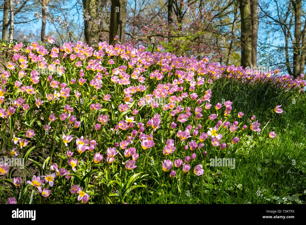 Lilac Wonder Tulips, Tulipa Saxatilis Lilac Wonder, in a natural setting under trees in the Keukenhof Gardens Netherlands. - Stock Image