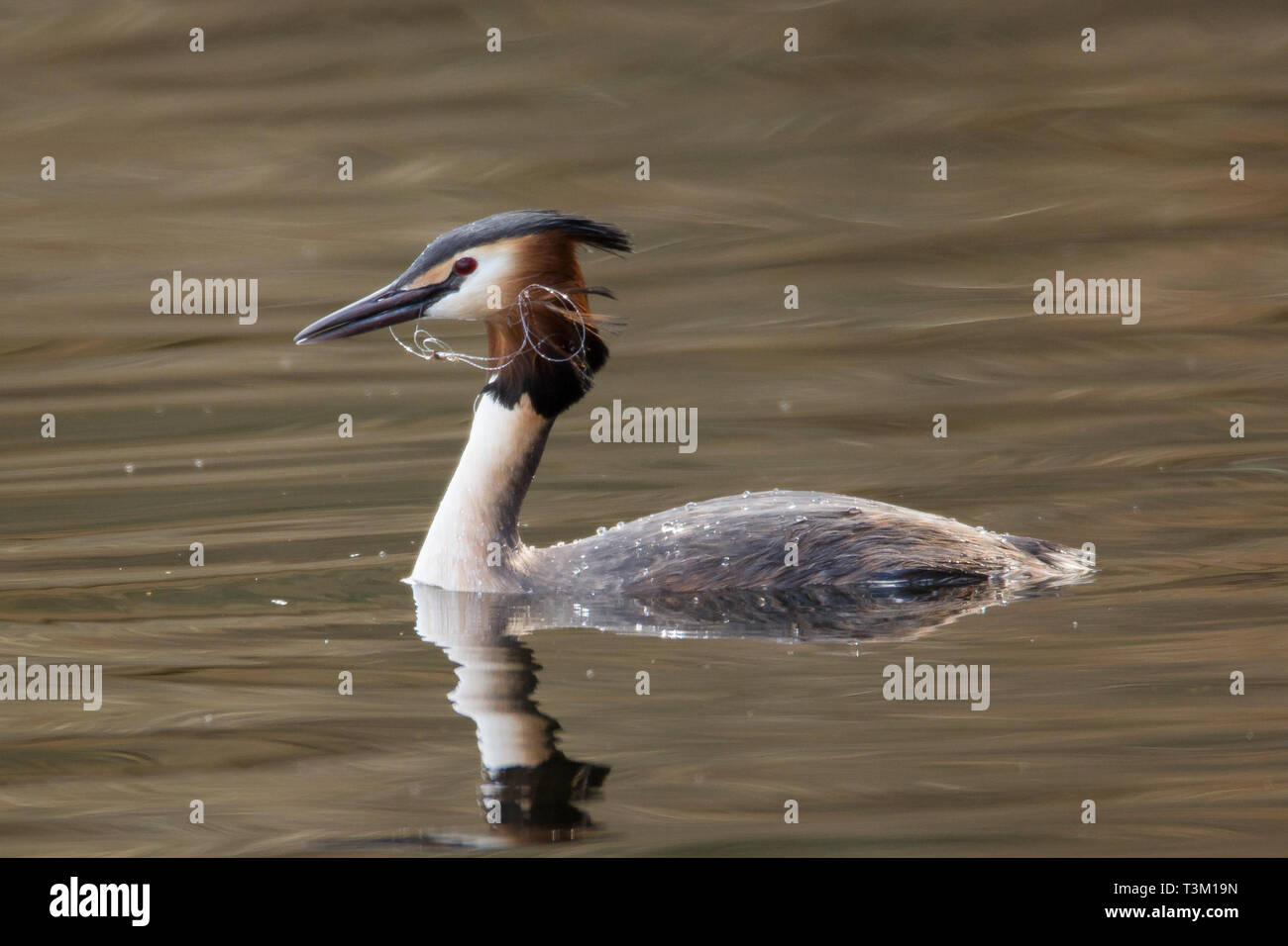 Great Crested Grebe with Fishing Nylon - Stock Image