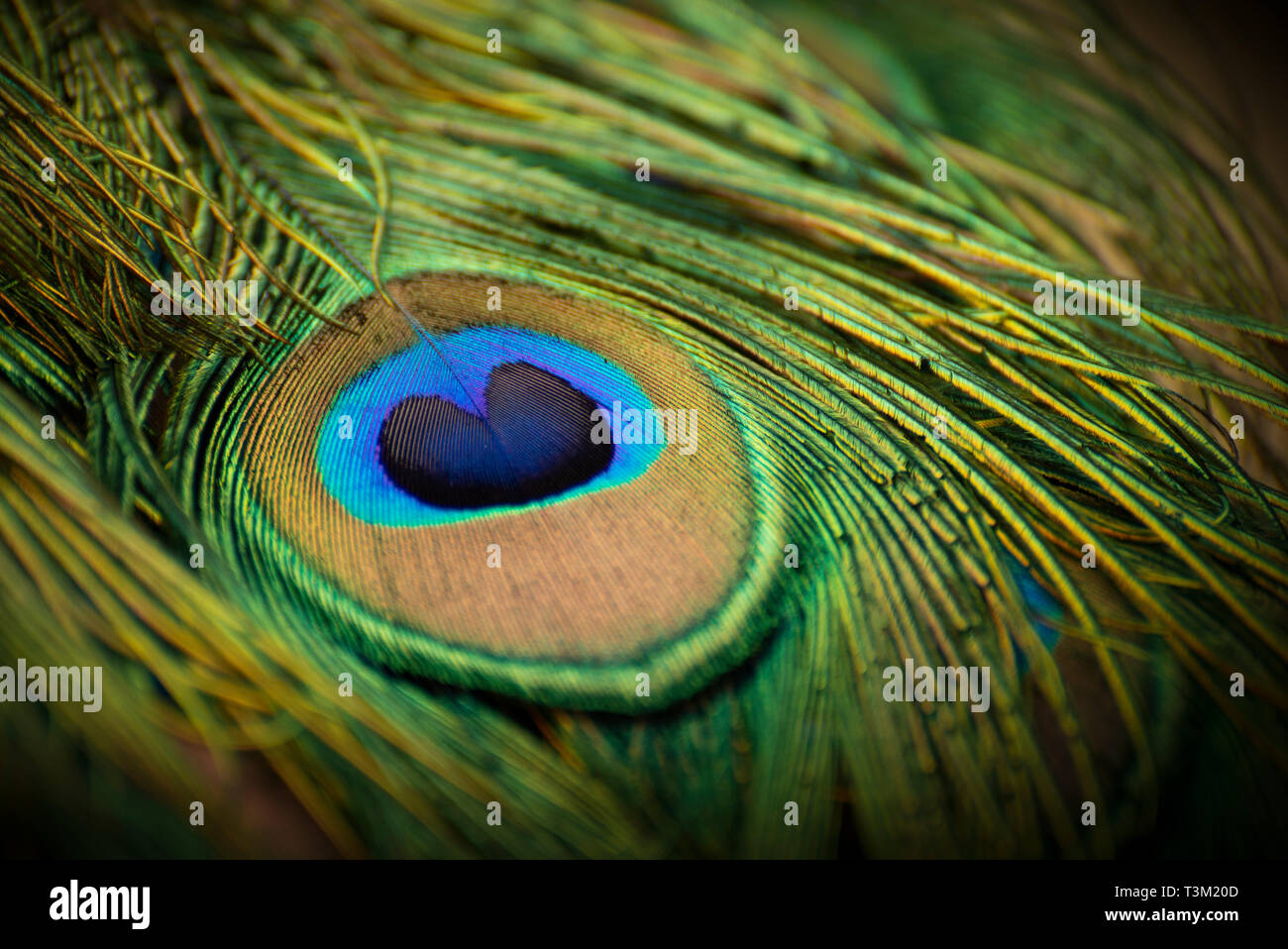 Indian Peafowl - Stock Image