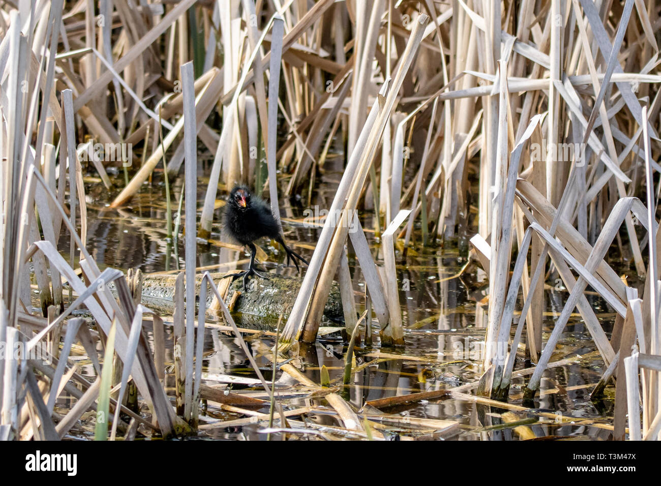 Young moorhen duckling stretching a leg and standing amongst marsh reeds on a floating wooden log Stock Photo