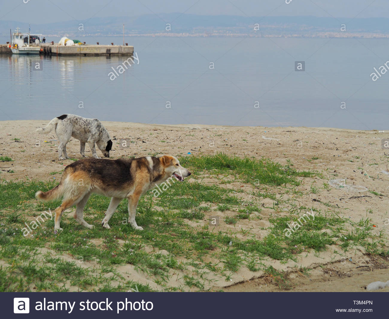 two stray dogs  at the beach - Stock Image