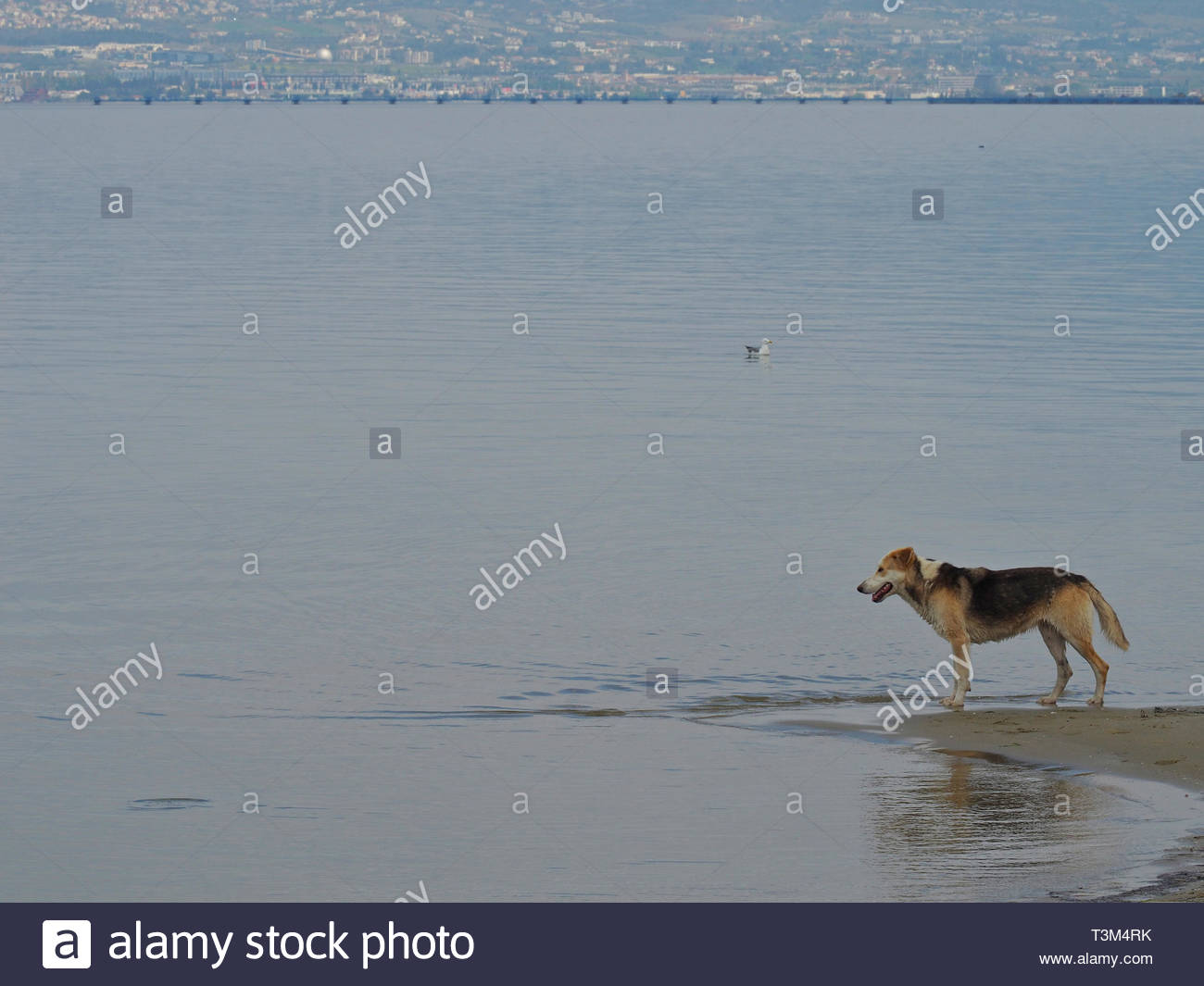 one stray dog playing at the beach - Stock Image