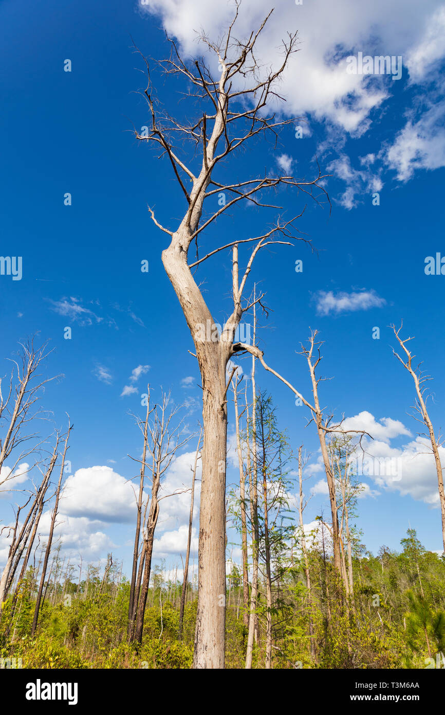 Dead trees from old forest fire stand starkly against a bright blue sky and puffy white clouds in Okefenokee swamp.   New growth in lower  image. Stock Photo