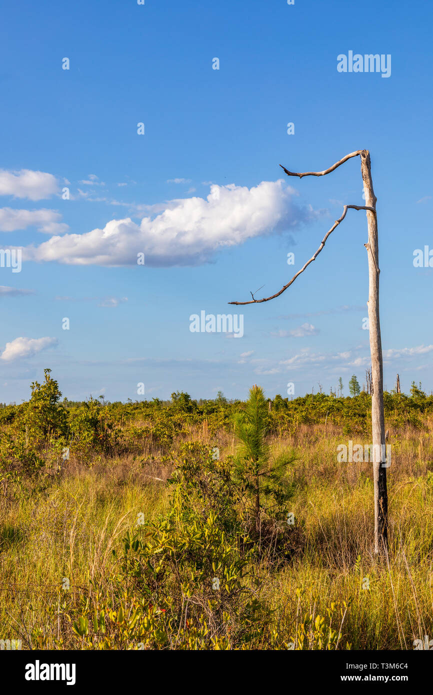 A single dead tree in the Okefenokee swamp, with two sparse limbs enveloping a white clould against a blue sky. Stock Photo