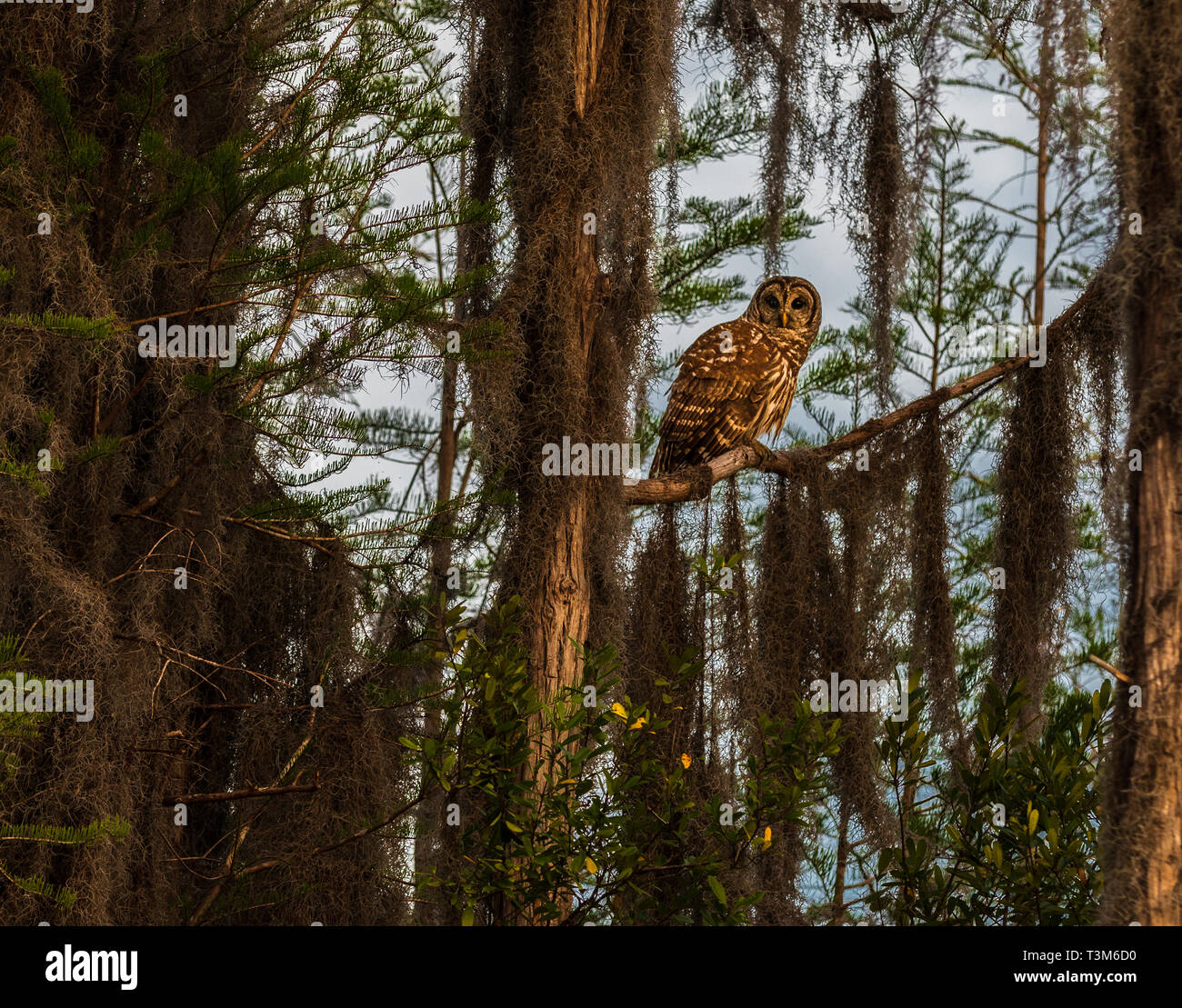 A Barred owl sitting on a limb among trees covered in spanish moss. Stock Photo