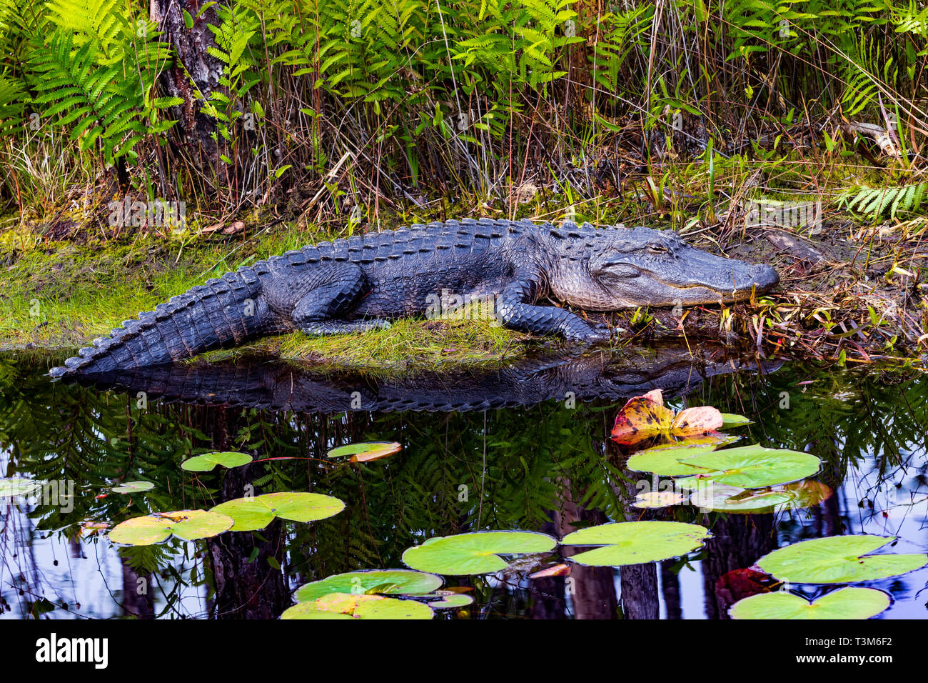 Adult American alligator resting in the sun on bank of Okefenokee swamp, with lily pads in foreground. - Stock Image