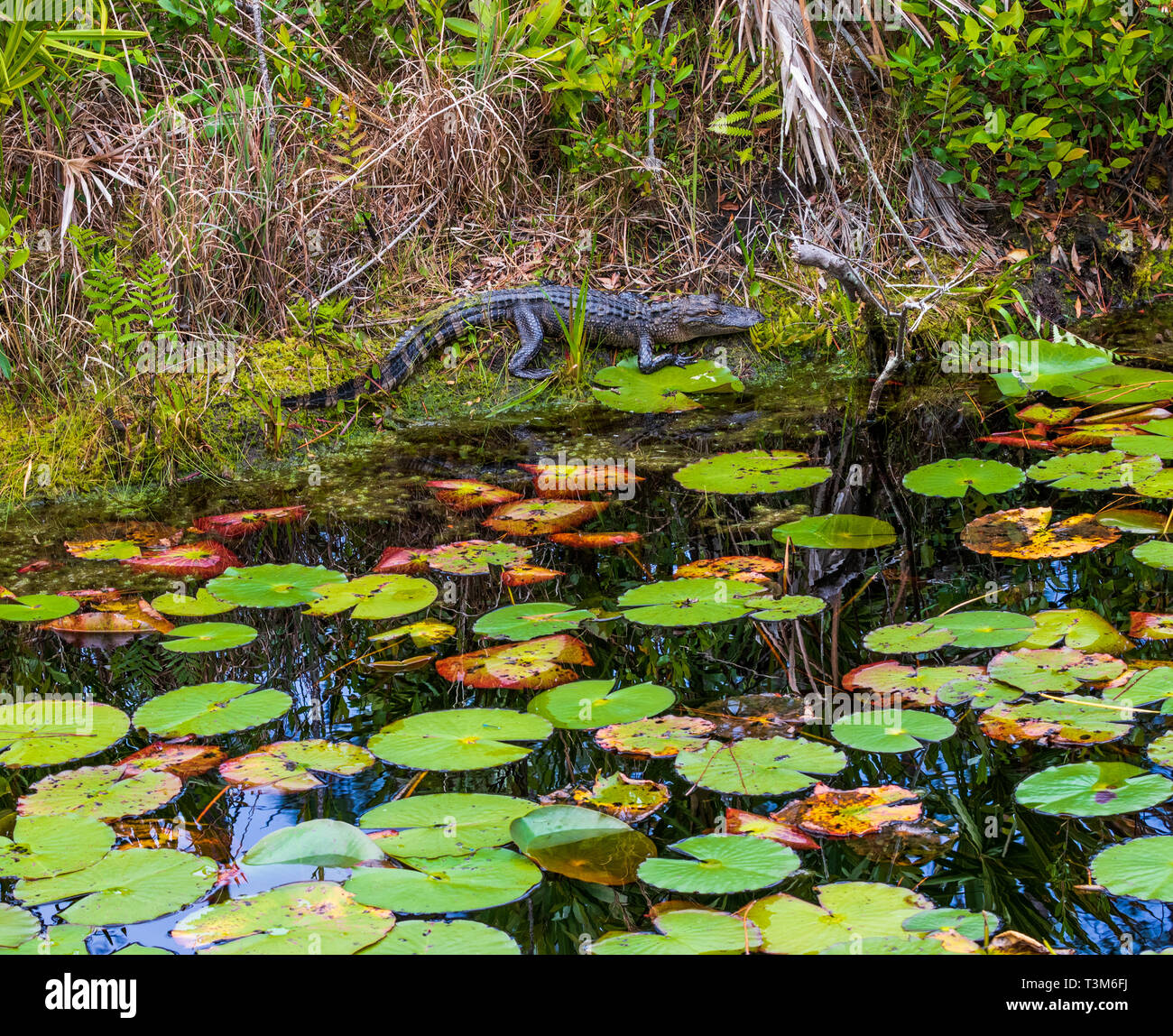 Small American alligator on  bank of okefenokee swamp, with lily pads in foreground.  Horizontal image. - Stock Image