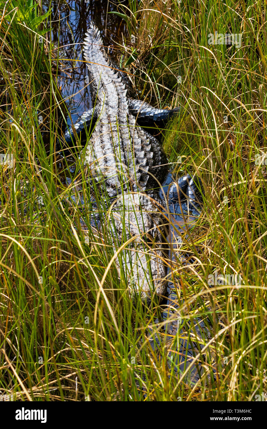 American alligator in grassy area of Okefenokee swamp, digesting a meal. - Stock Image