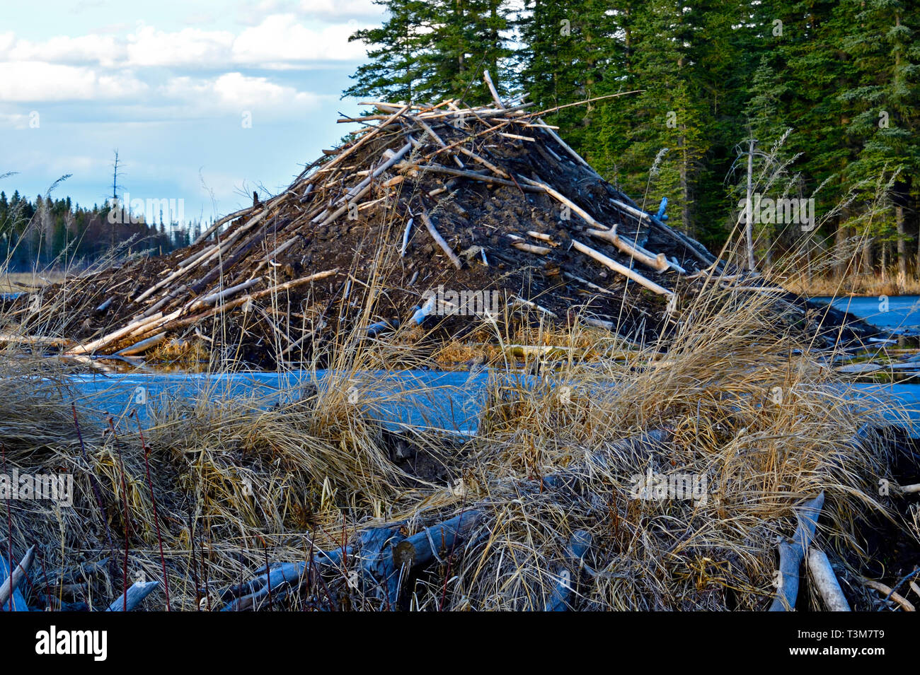 A horizontal image of the large beaver house at the end of Maxwell lake in Hinton Alberta Canada. Stock Photo