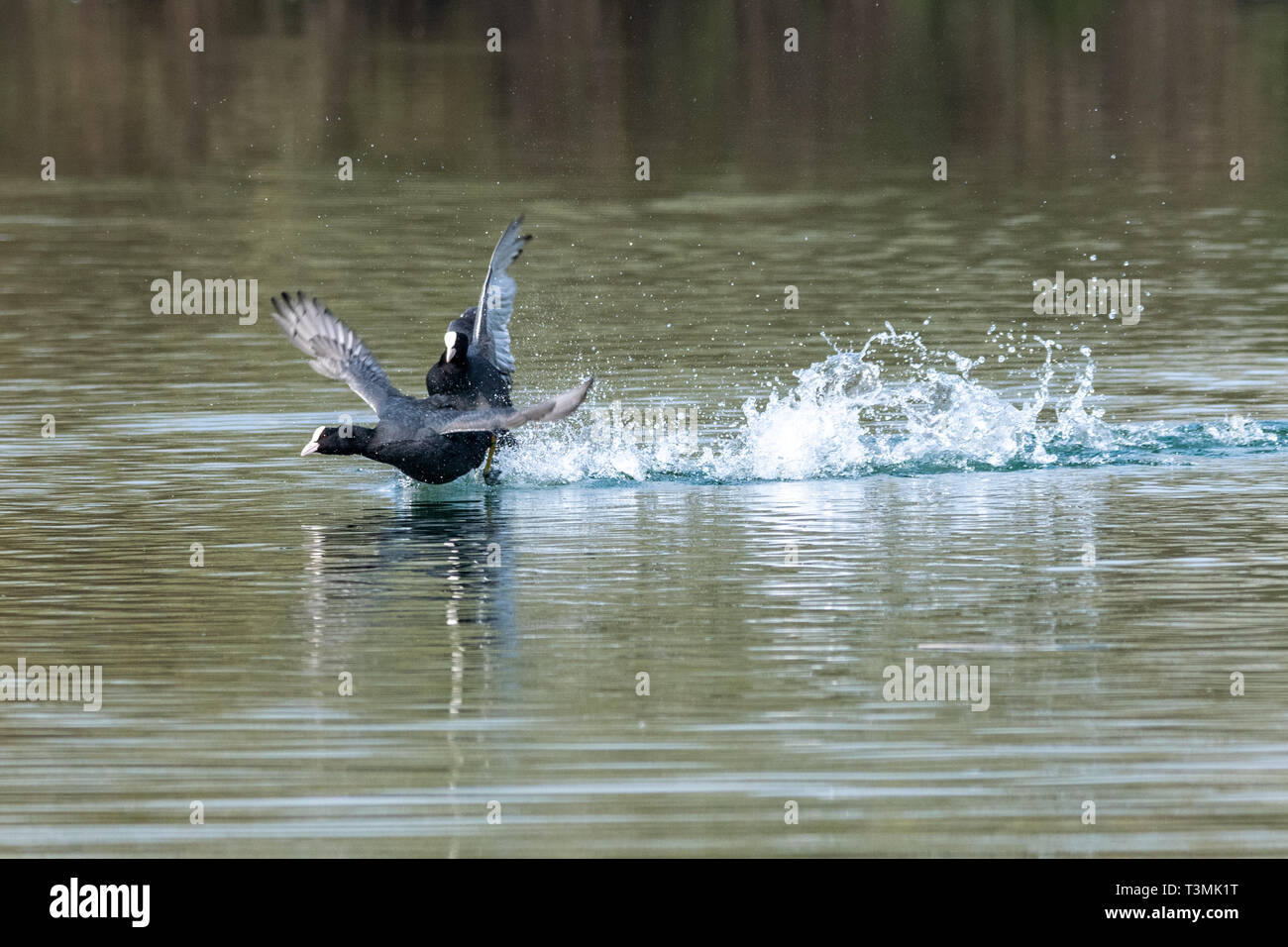Coots (fulica atra) showing aggressive fighting territorial behaviour in early spring Stock Photo